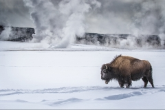 N0347537_Annette-Hockney_Bison-in-Yellowstone-Park