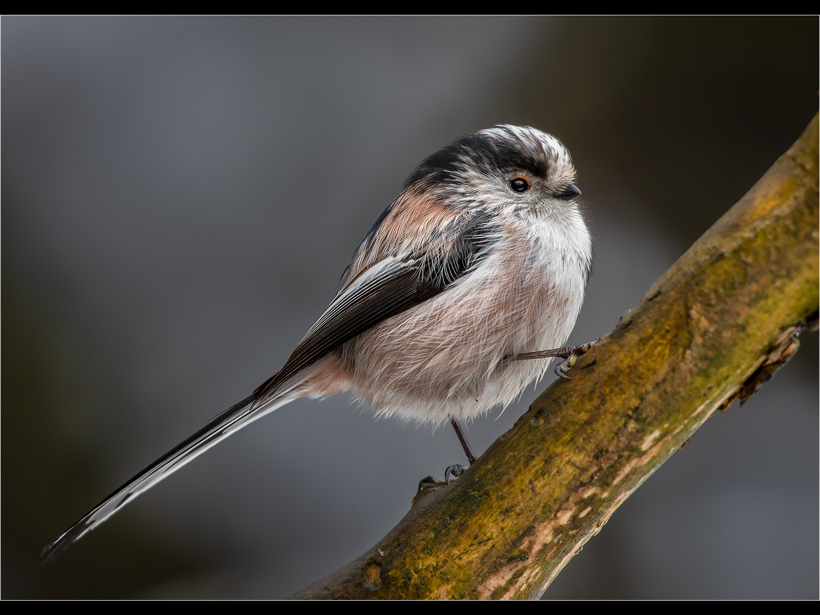 A0455979_Andy Butler_Long-tailed Tit