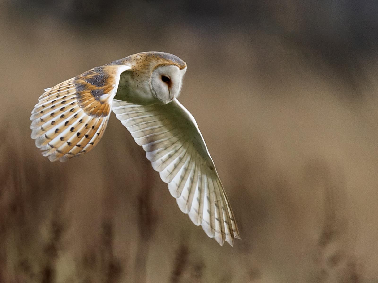 B1353116_Pat Mansfield_Barn Owl