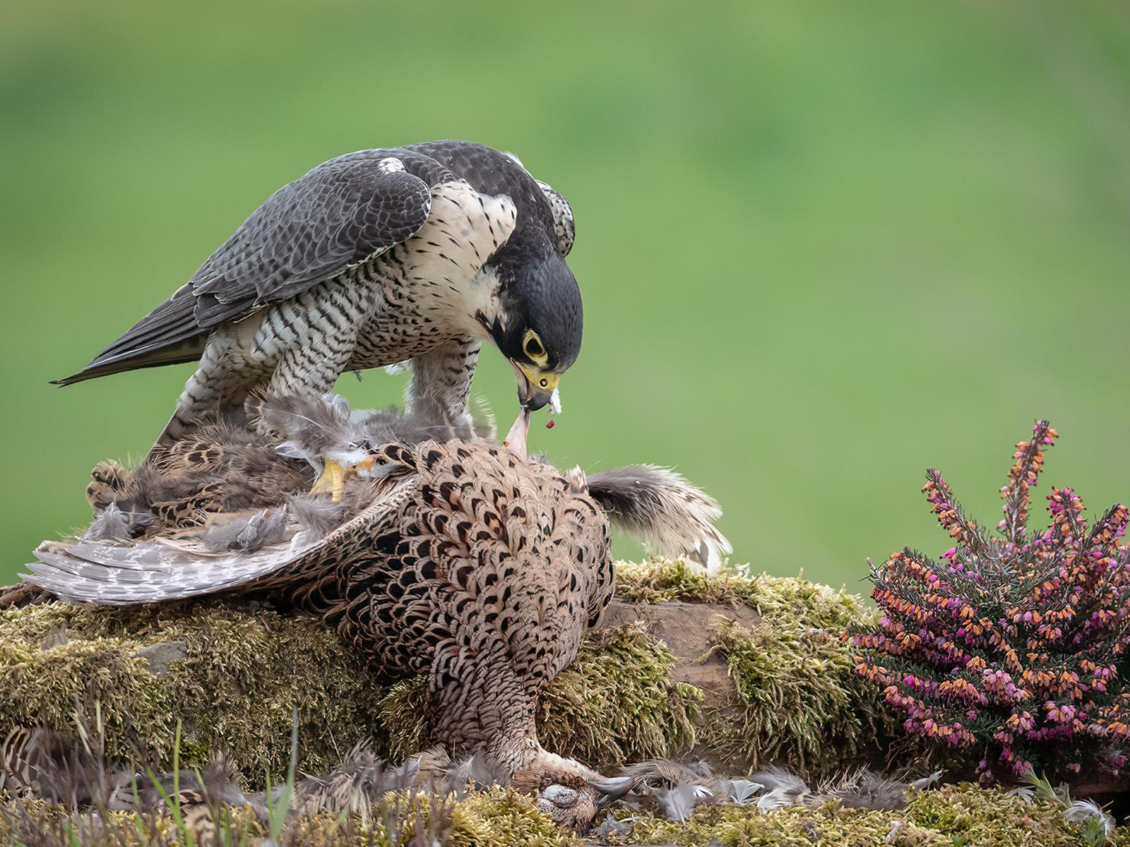 C0252522_Robin Price_Peregrine On Pheasant