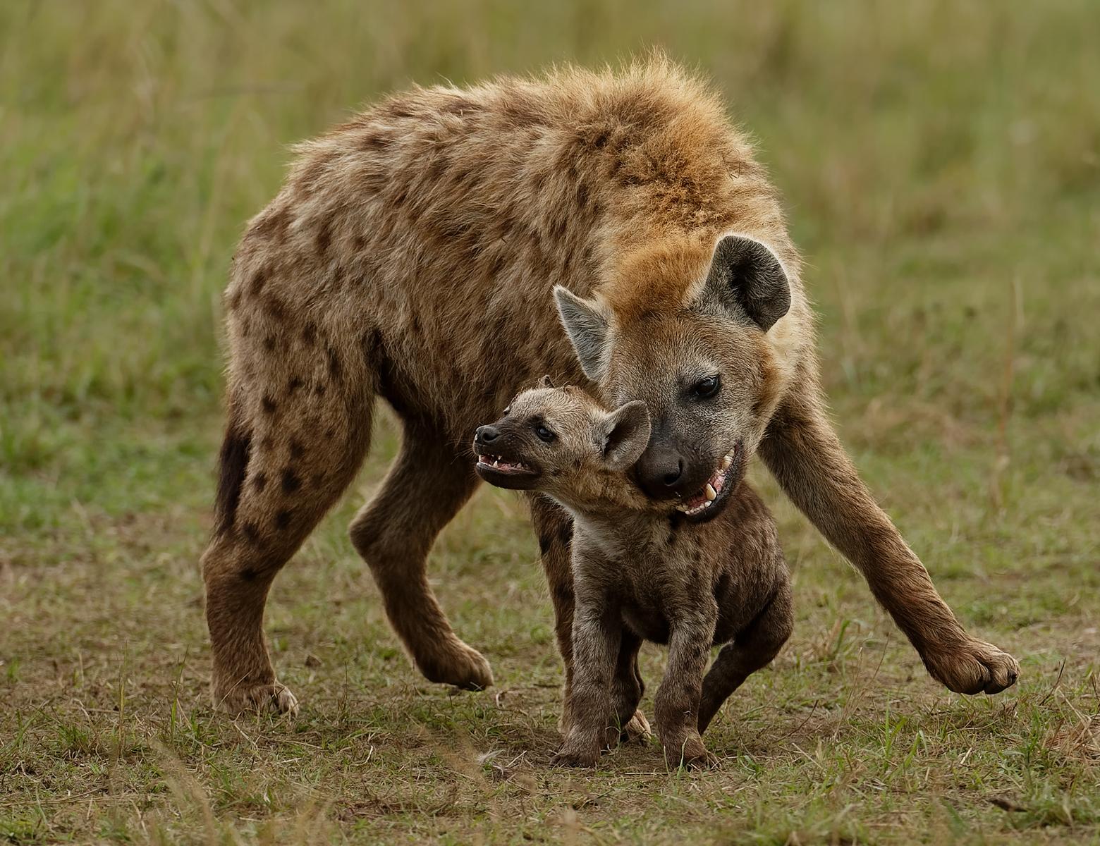 C0755721_Ian Whiston_Hyena Bonding with Cub