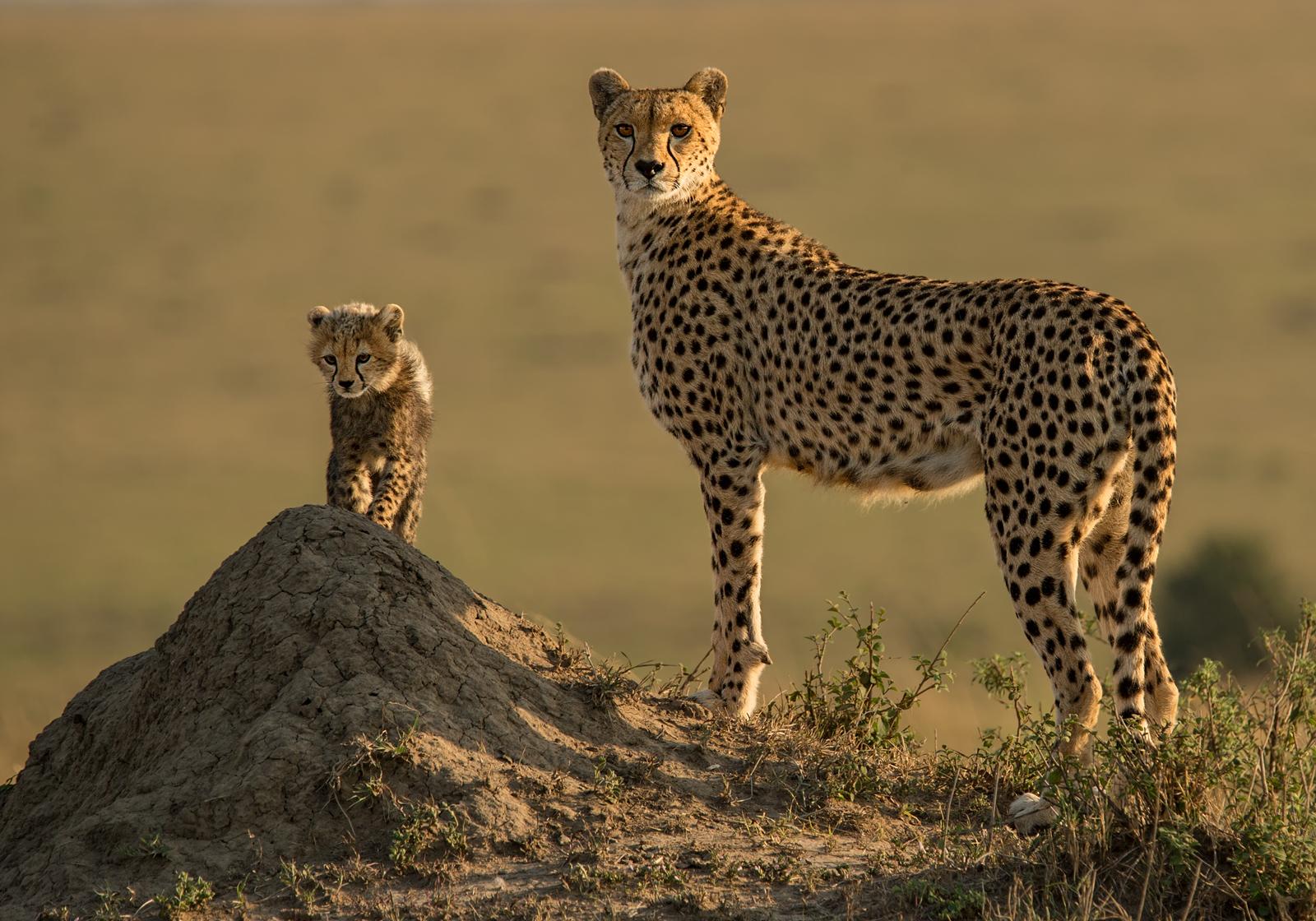 C0755724_Ian Whiston_Alert Cheetah Mother