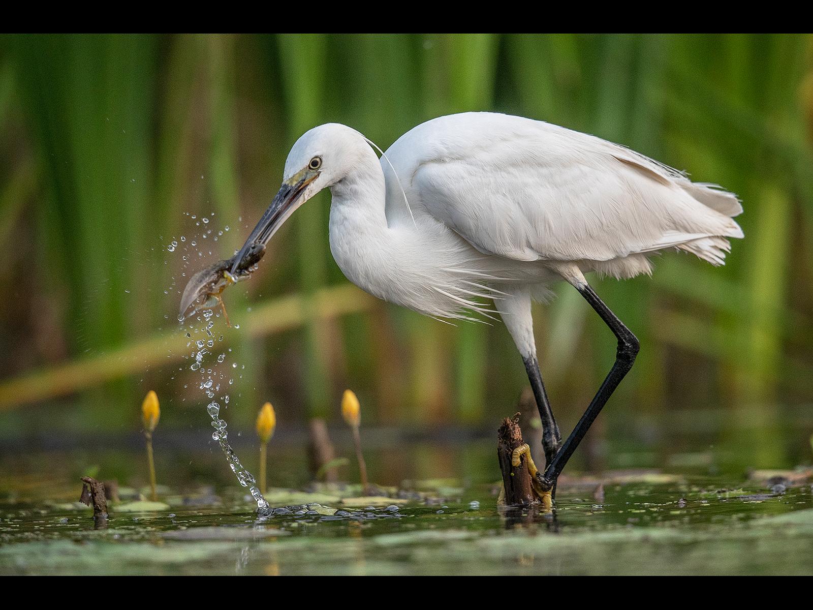 E0253109_Steve Hitchen_Little Egret with froglet