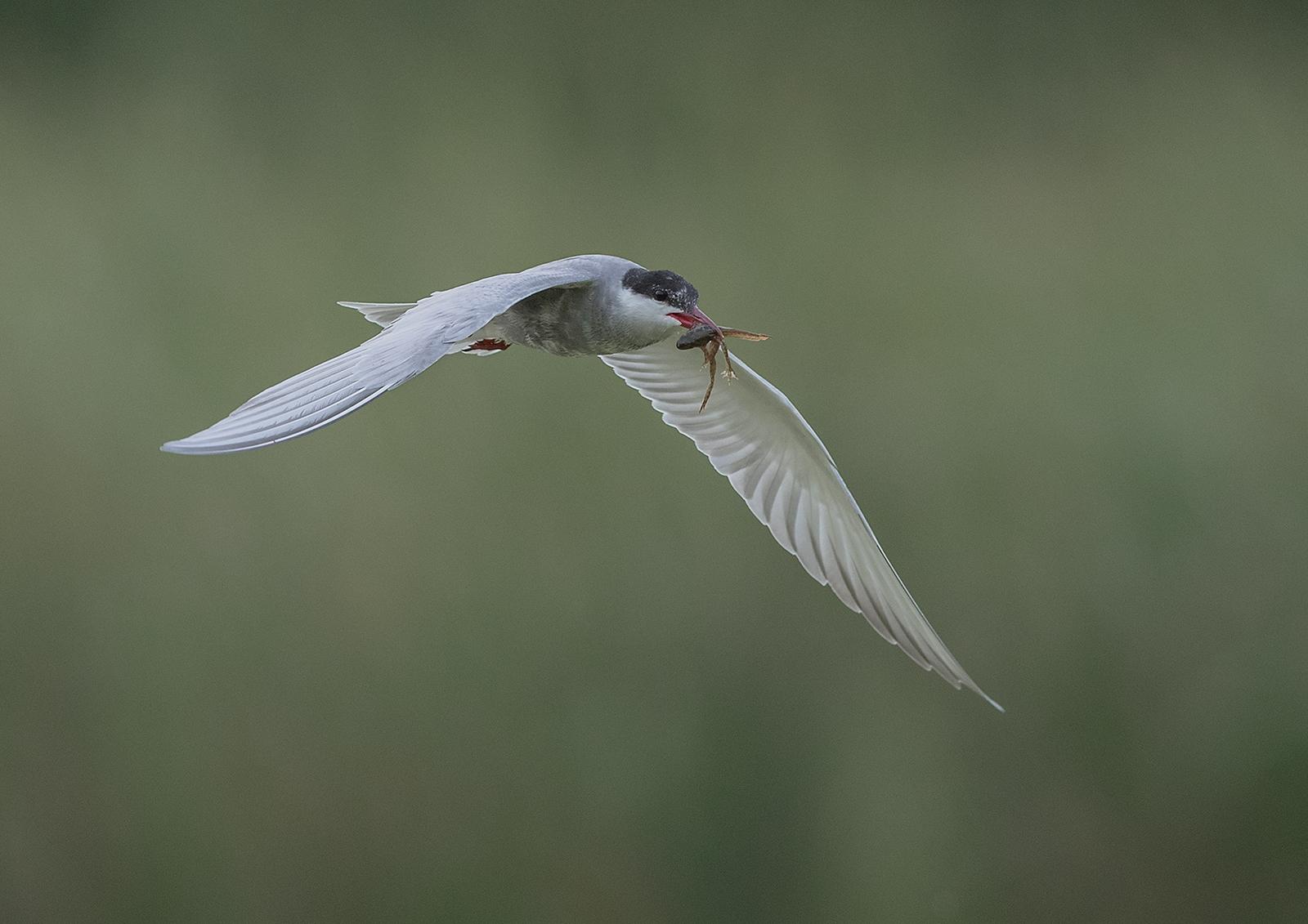 E0253255_David Woodhead_Whiskered Tern in flight