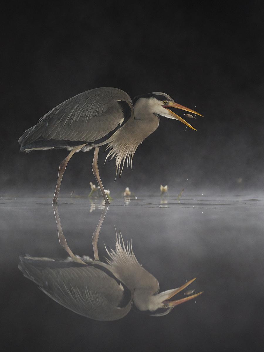 S1253988_Sue Anders_Heron