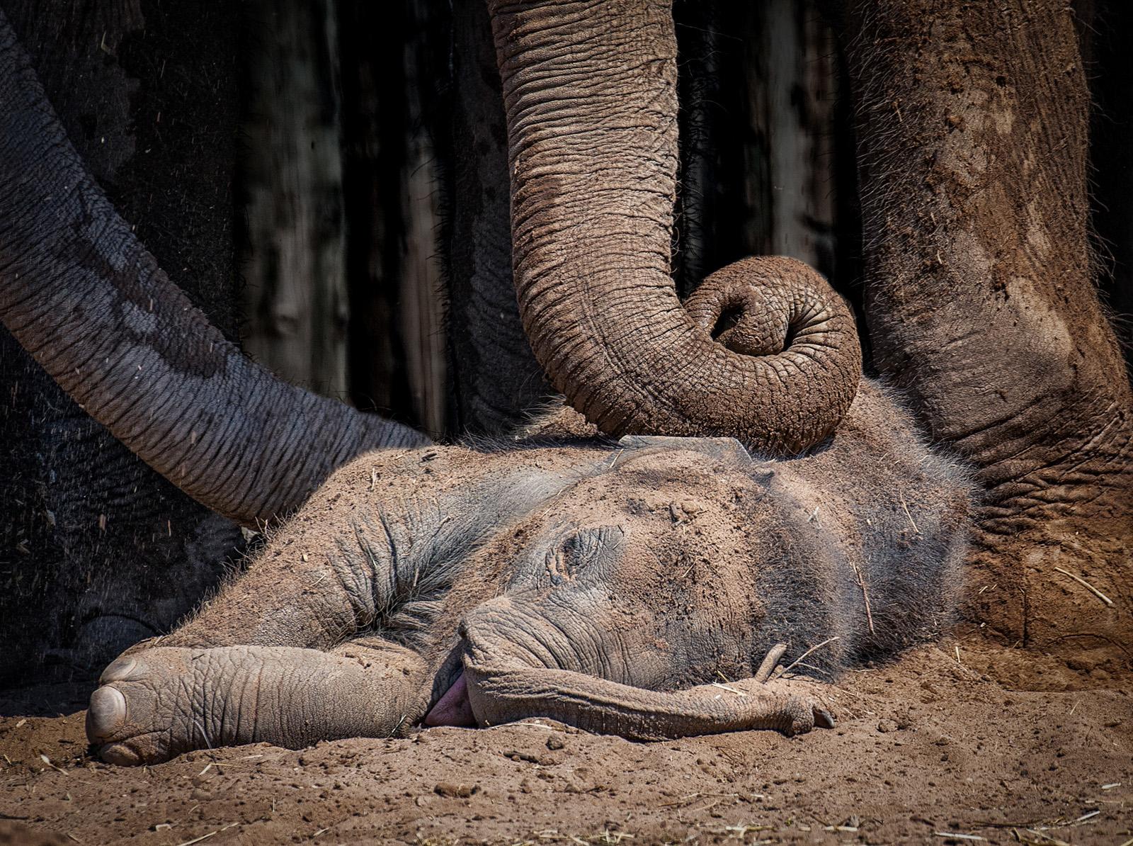 W0352476_Lynda Haney_Baby Elephant Sleeping