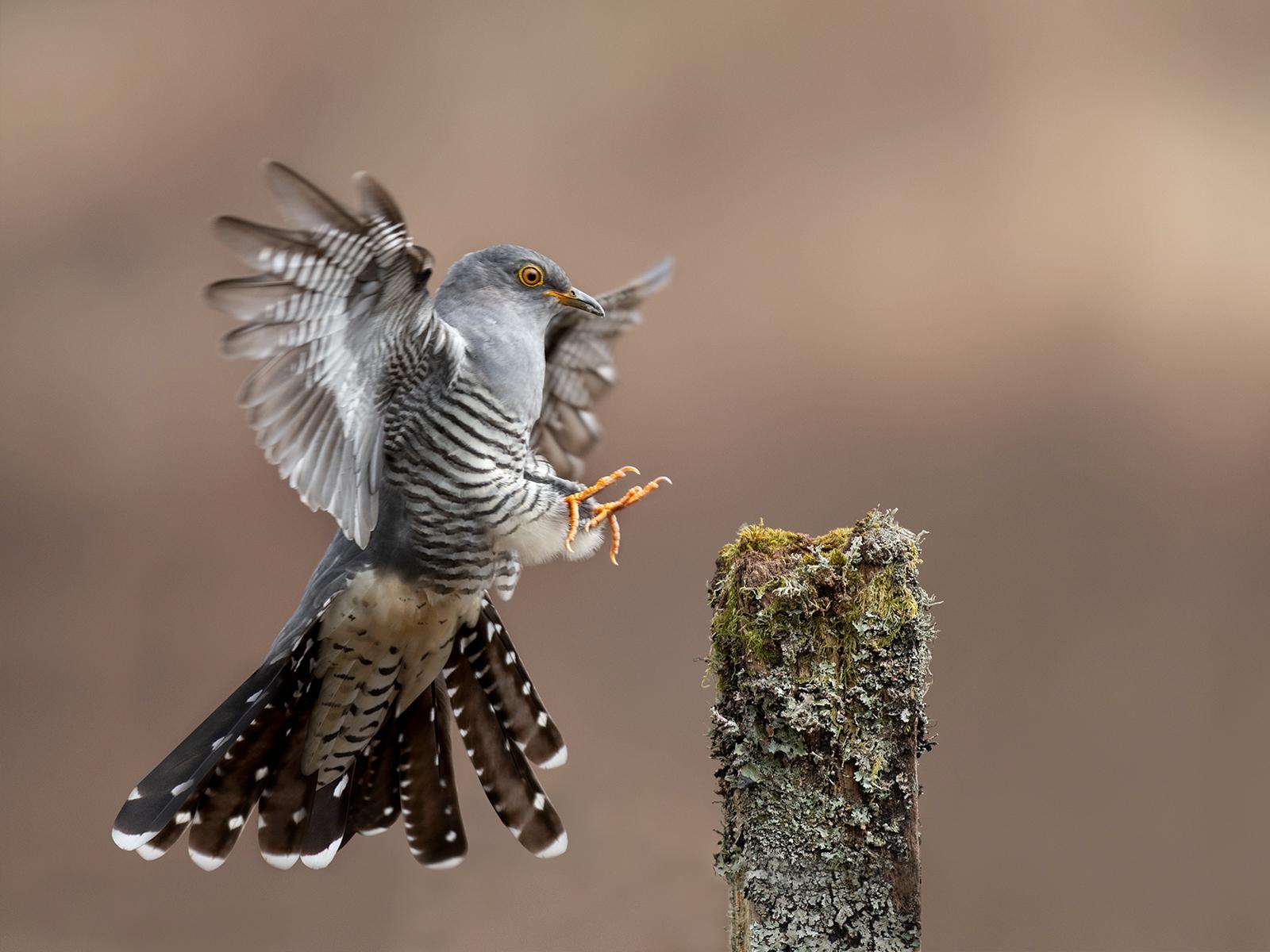 W0454638_Philip Barber_Male cuckoo landing