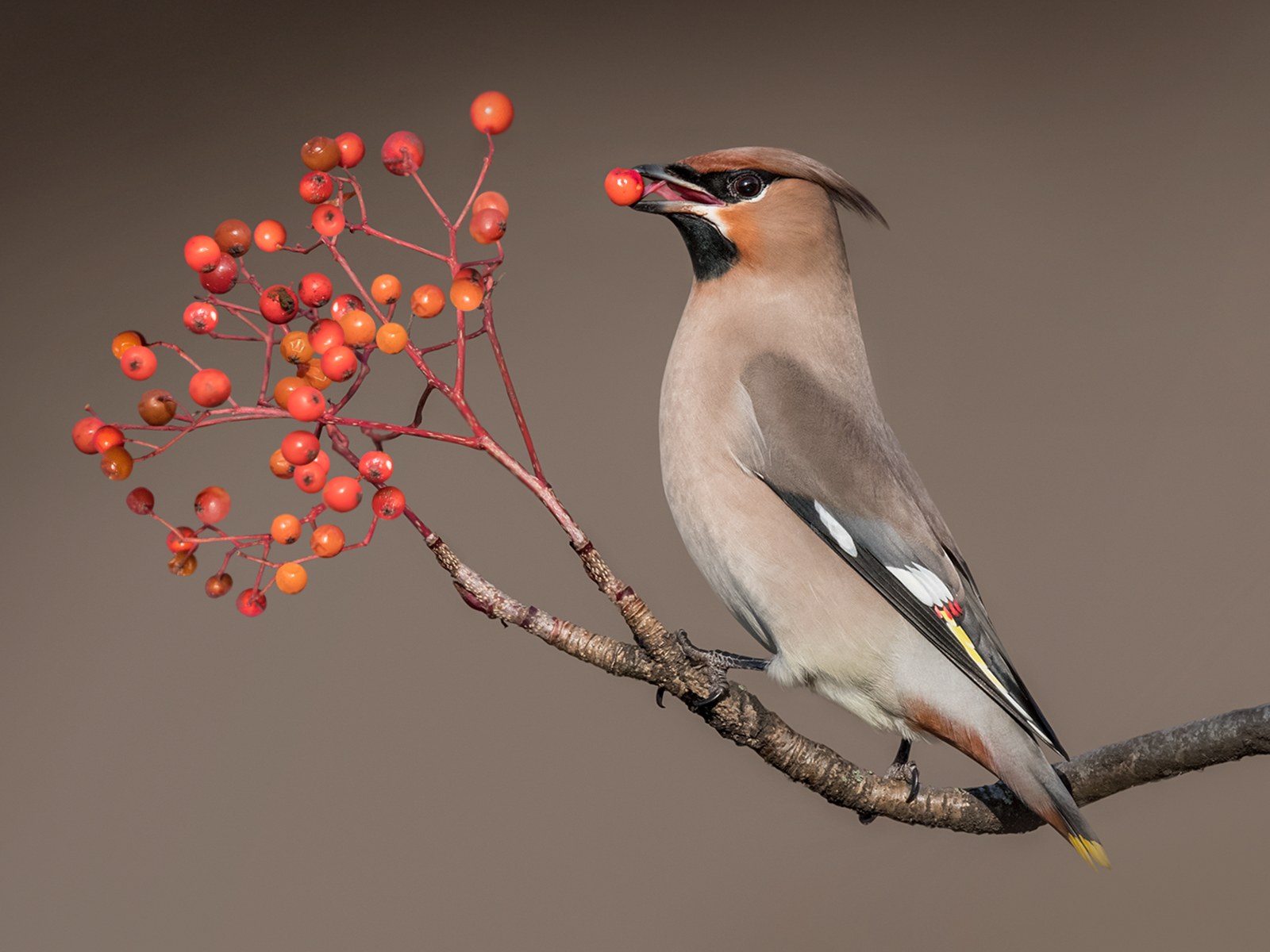 W0447189_Philip-Barber_Waxwing-with-rowen-berry