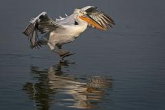 Dalmation-Pelican-Landing