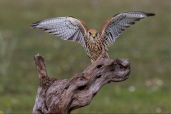 Female-Kestral-wings-outstretched