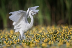 Little-Egret-in-Yellow-Lillies-with-frog
