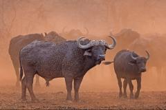 Mud-splattered-Buffalo-in-dust-cloud