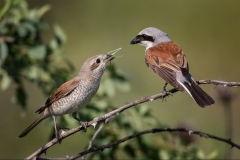 Red-Backed-Shrike-food-pass