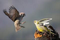 Sparrow-v-Greenfinch