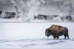 N0347537_Annette-Hockney_Bison-in-Yellowstone-Park