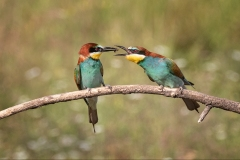 Bee-Eaters-food-pass