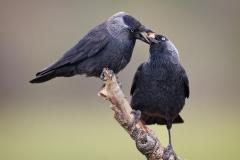 Jackdaws-bonding