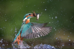 Kingfisher-double-catch