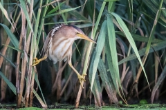 Little-Bittern-ready-to-strike