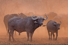 Mud-splattered-Buffalo-in-dust-cloud