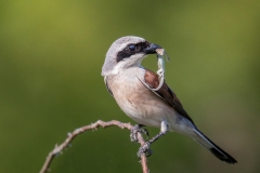 Red-Backed-Shrike-with-Lizard